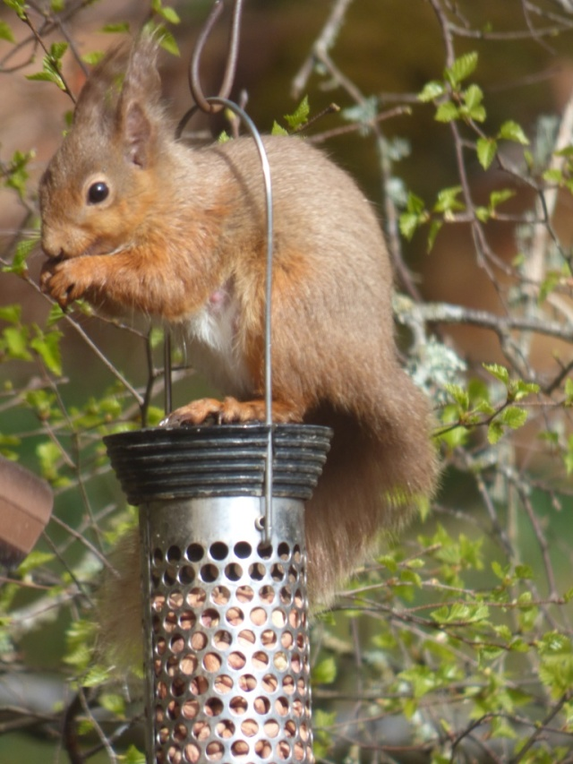 This female squirrel may have babies to feed just now.