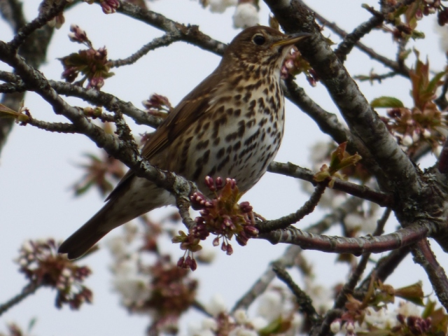 Song thrush in gean tree.