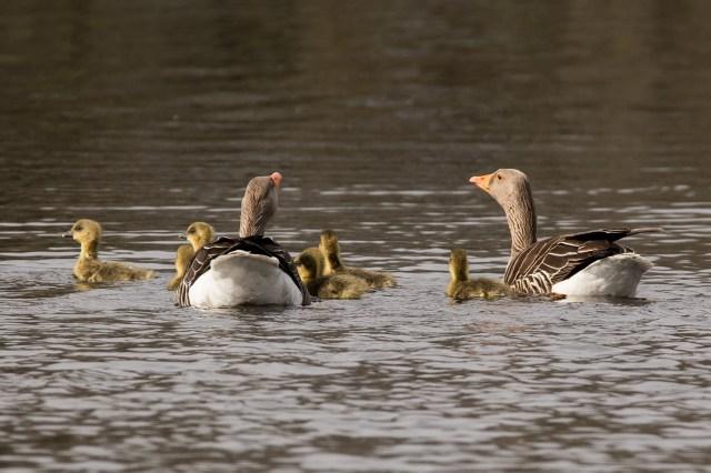 Greylag geese plus goslings