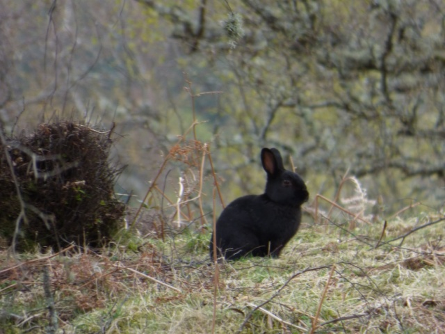 Black rabbit.
