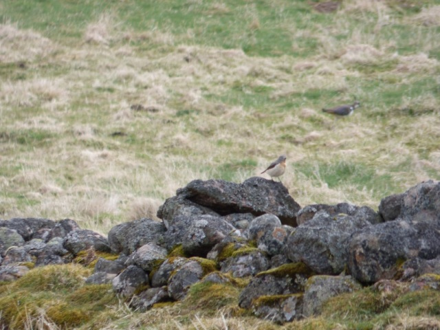 Wheatear checking out a lapwing