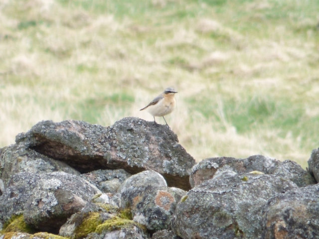 The wheatear is still hanging around