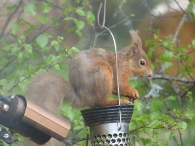 Red squirrel - male!