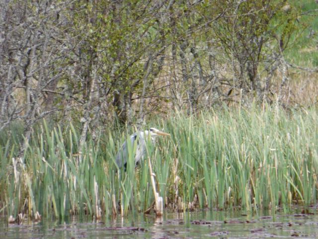 Grey heron lurking in the reeds