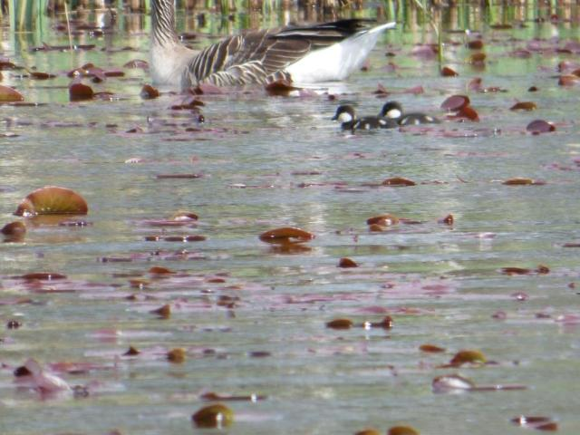 The goldeneye ducklings look tiny beside a greylag