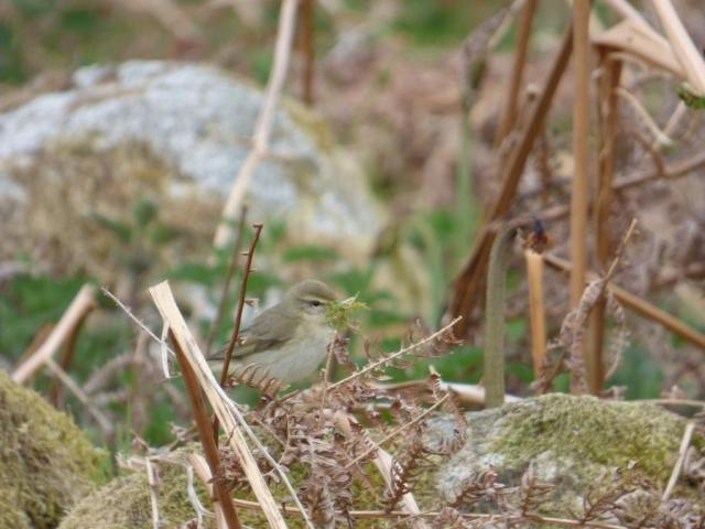 Willow warbler with nesting material