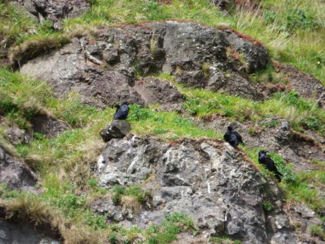 The three fledged raven chicks