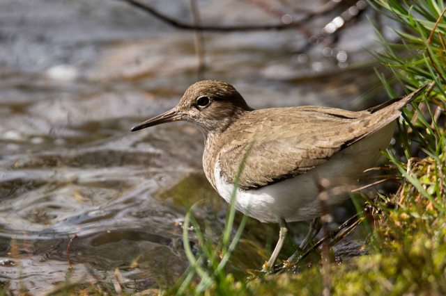 "A common sandpiper, in a very typical ""bum up"" pose"