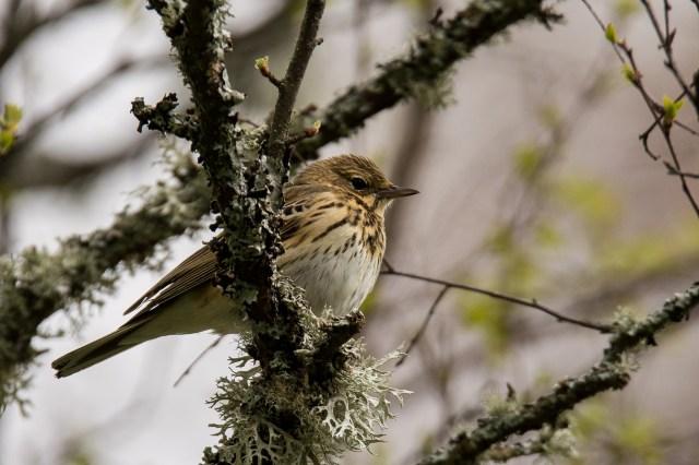 Tree pipit. Small bird, big voice.