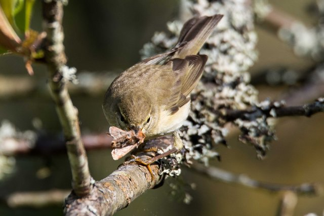 Willow warbler with moth