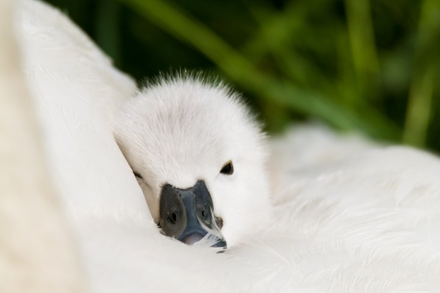 Cygnet snuggling into mum for warmth