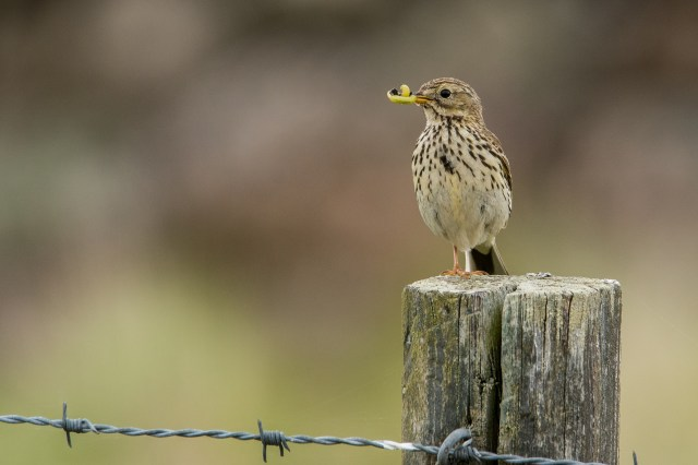 Meadow pipit with food.