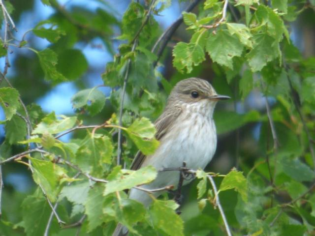 Watch me watching you....the spotted flycatcher just at the back of the office
