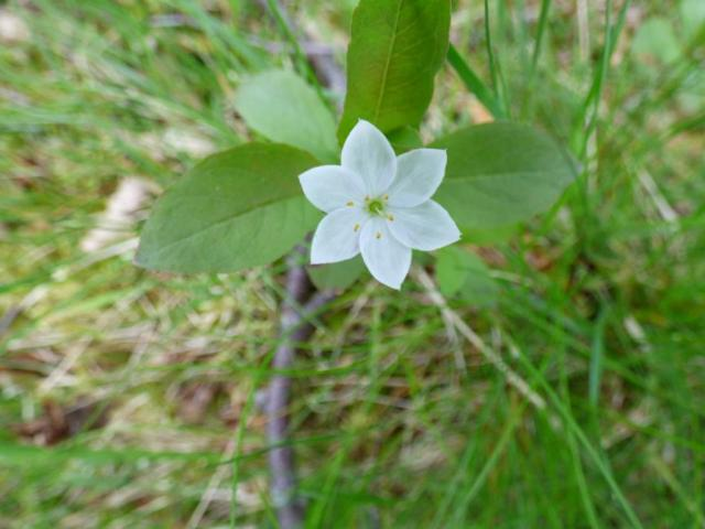 Chickweed wintergreen