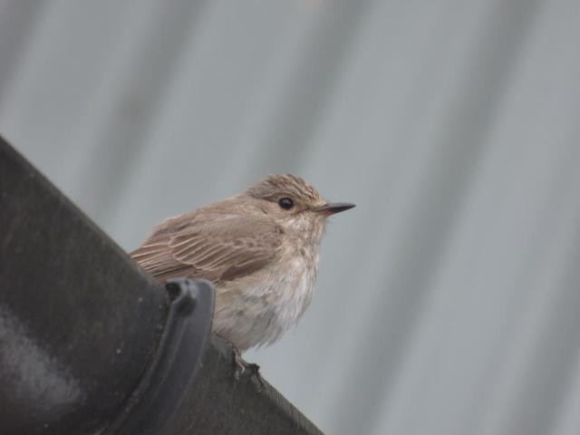 Spotted flycatcher on gutter