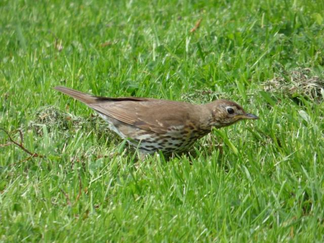 "Song thrush ""listening"" for worms"