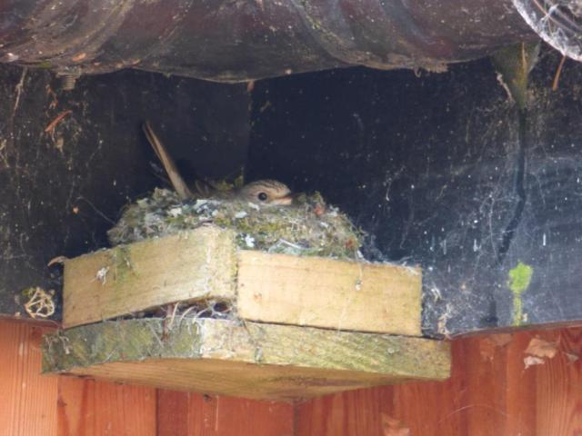 Spotted flycatcher on nest