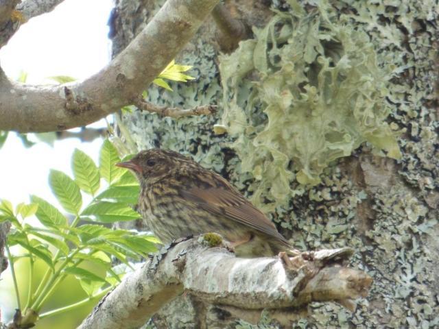 Newly fledged dunnock