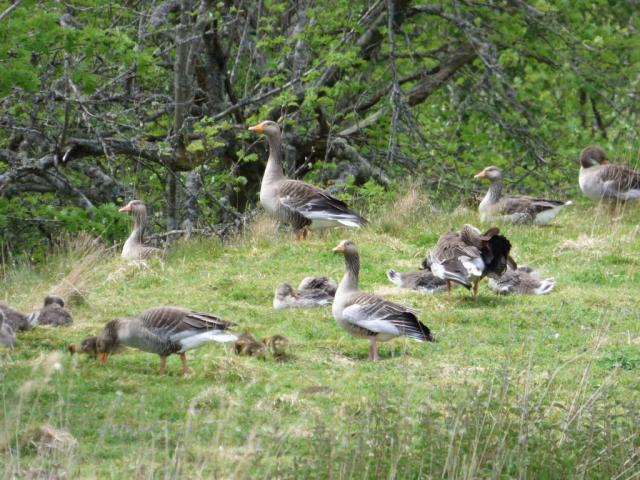 Goslings of all sizes...some are still fluffy, others look nearly adult