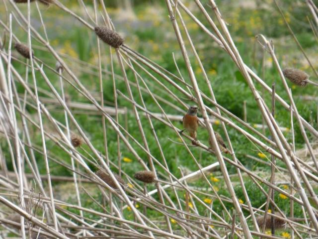 Female redstart with fledgling