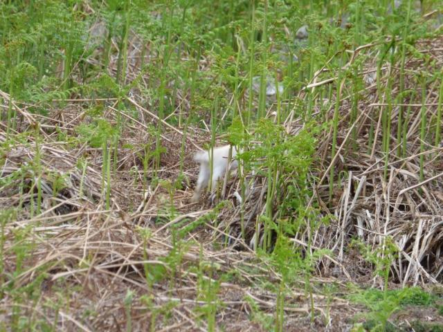 The white rabbit, disappearing Alice in Wonderland- like down a hole!