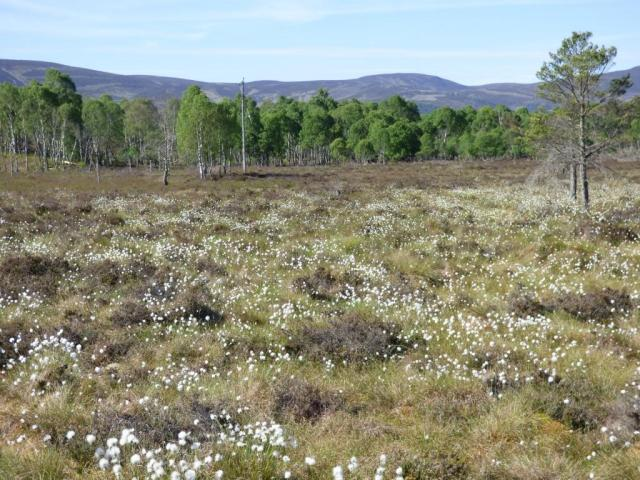 The bog, with lots of bog cotton in seed.