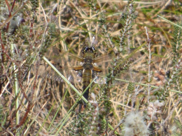 One of the first four-spotted chaser dragonflies we've seen this year