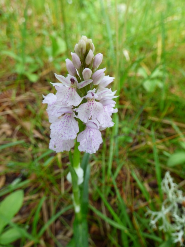 Heath- spotted orchid