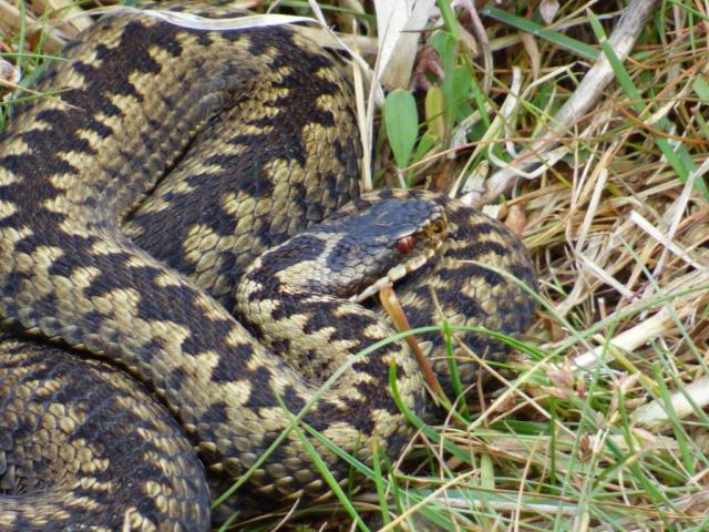 The first adder in ages!