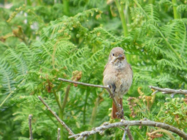 Female redstart with grub