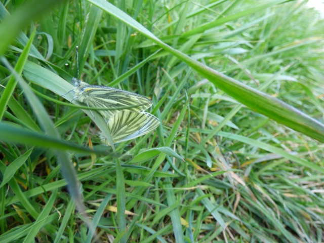 Mating green viened -white butterflies