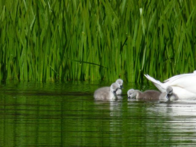 Freshly- hatched cygnets