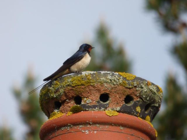 Swallow on Burn o Vat chimmney