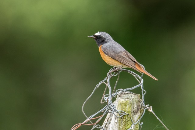Cracking male redstart