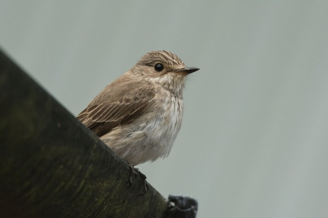 Guttered! The spotted flycatcher often perch up in the guttering.