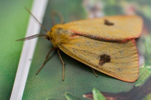 Clouded buff moth