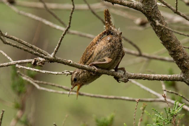 Mother wren