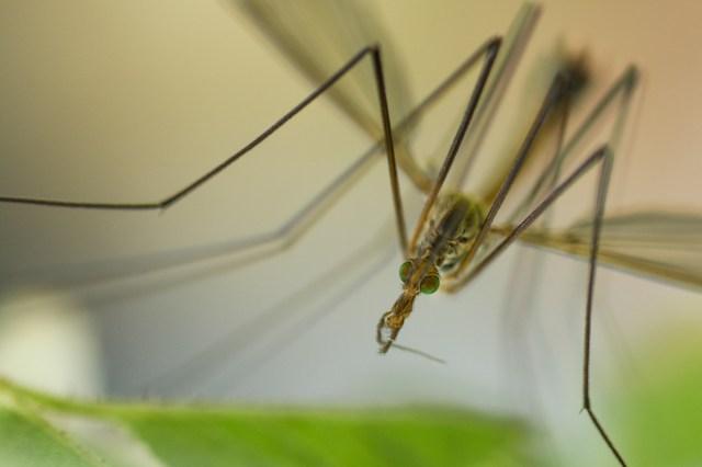 Cranefly (daddy long-legs)