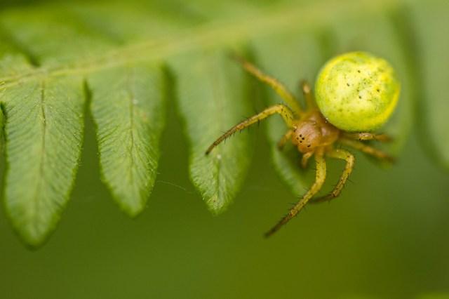 Cucumber spider