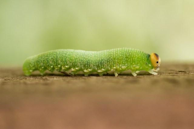 Birch sawfly larva
