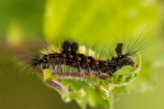 Vapourer moth caterpilla