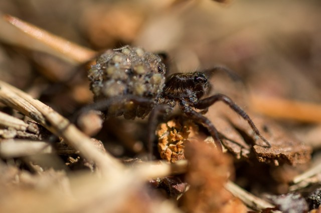 Spider with hatchlings
