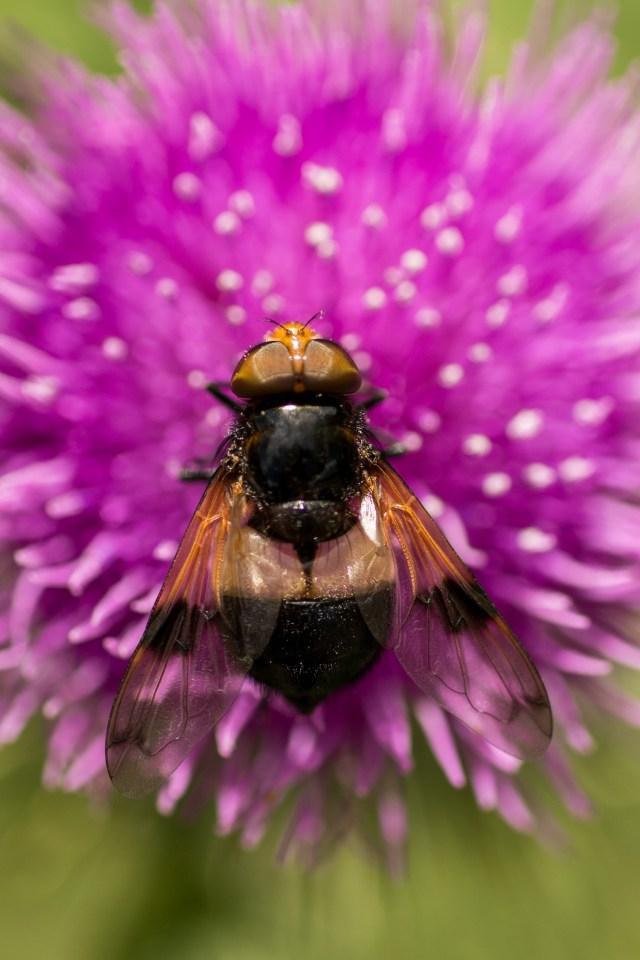 Volucella pellucens or Pellucid fly