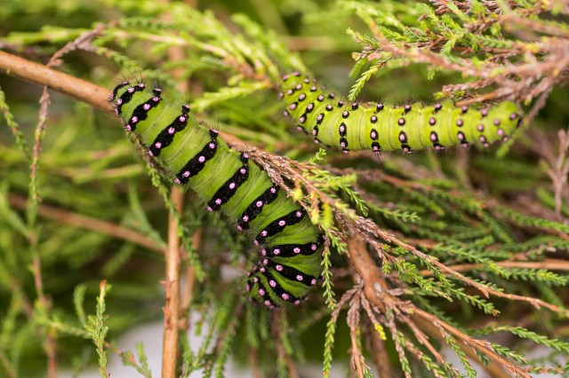Emperor moth caterpillars