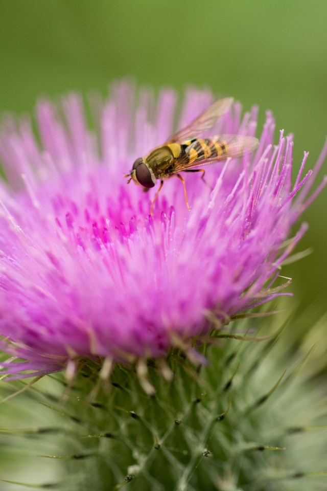 A hoverfly enjoying a flowering spear thistle