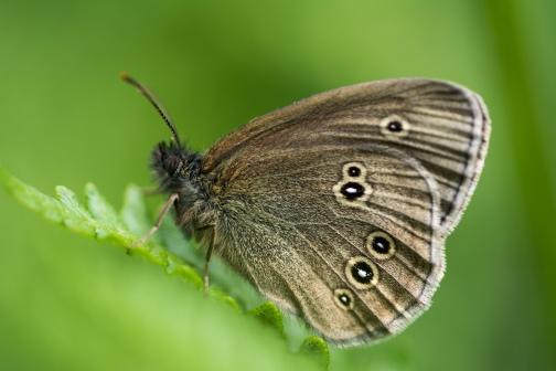 Ringlet butterfly