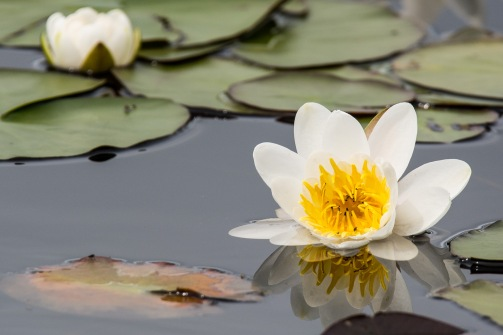 The water lilies are bursting into flower all around Loch Kinord.