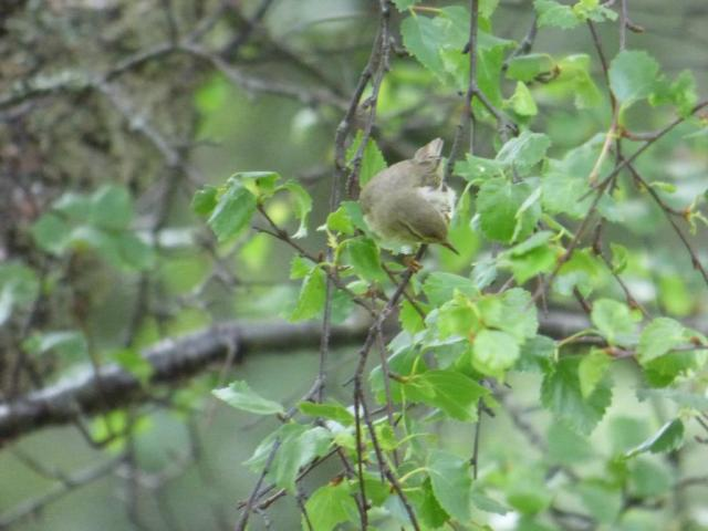 What's caught the willow warbler's attention? it's not me...