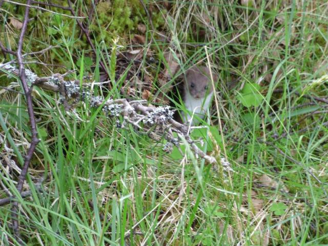 The cause of all the consternation -  a stoat!