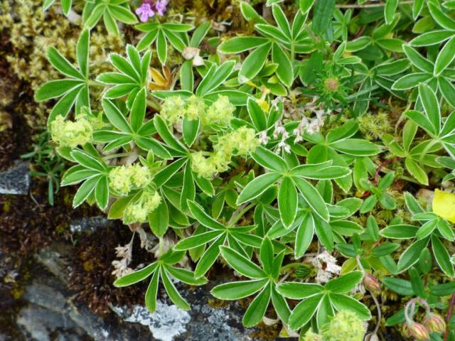 Alpine lady's mantle